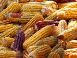 View of Ears of Organic Corn in Bussunaritz, Southwestern France, Saturday, October 28, 2006 Photographic Print by Bob Edme
