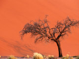 Acacia Tree in Front of Dune, Sossusvlei, Namibia Photographic Print by Andrew Parkinson