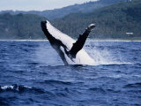 Humpback Whale, Breaching, Polynesia Photographic Print by Gerard Soury