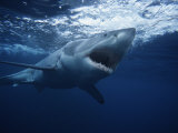 Great White Shark, Swimming, South Australia Photographic Print by Gerard Soury