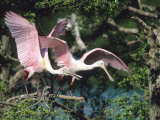 Roseate Spoonbills, Taking Off, Texas, USA Photographie par Philippe Henry