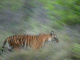 Bengal Tiger, Tigress in Grass, Madhya Pradesh, India Photographic Print by Elliot Neep