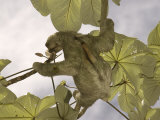 Three-Toed Sloth, Feeding, Costa Rica Photographic Print by David M. Dennis