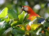 Scarlet Macaw, Peering Through Leaves, Costa Rica Stampa fotografica di Roy Toft