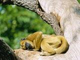 Howler Monkey, Female Sunning, Zoo Animal Stampa fotografica di Stan Osolinski