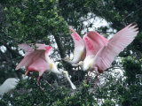 Roseate Spoonbills, Aggressive Behaviour, Texas, USA Photographic Print by Philippe Henry