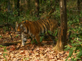 Bengal Tiger, Male Walking, Madhya Pradesh, India Photographie par Elliot Neep