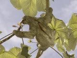Three-Toed Sloth, Feeding, Costa Rica Photographic Print by David M. Dennis