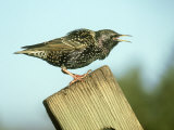 Starling, Sturnus Vulgaris Calling on Fence Post, S. Yorks Photographie par Mark Hamblin
