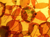 Collection of Aspen Leaves That are Bright Yellows and Oranges Photographic Print