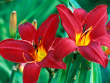 Hemerocallis &quot;Chicago Aztec,&quot; Close-up of Red Flower Heads Photographie par Lynn Keddie