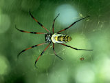 Golden Orb-Web Spider, Madagascar Photographic Print by Kenneth Day