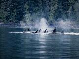 Killer Whale, Pod at Surface, BC, Canada Reprodukcja zdjęcia autor Gerard Soury