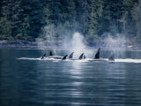 Killer Whale, Pod at Surface, BC, Canada Photographic Print by Gerard Soury