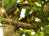 Fiery-Billed Aracari, Two Aracaris on Branch of Tree, Costa Rica Photographic Print by Roy Toft