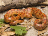Corn Snake, Sarasota County, USA Photographic Print by David M. Dennis