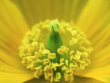 Welsh Poppy, Yorks, UK Photographic Print by Mark Hamblin