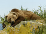 Alaskan Brown Bear, Alaska, USA Photographic Print by Daniel J. Cox