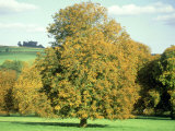 Horse Chestnut in Autumn, UK Photographic Print by Mike England