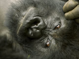 Mountain Gorilla, Close-up of Face, Scratching Head, Africa Fotografie-Druck von Roy Toft