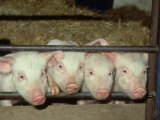 British Saddleback, Piglets Peering Through Bars of Sty UK Photographic Print by Mark Hamblin