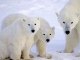 Polar Bears, Mother and Young, Manitoba, Canada Fotografisk trykk av Daniel J. Cox