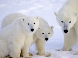 Polar Bears, Mother and Young, Manitoba, Canada Lámina fotográfica