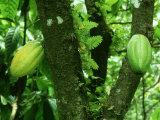 Alastair Shay - Cocoa, Pods, Tobago Fotografická reprodukce