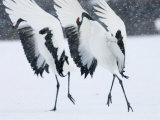 Red-Crowned Crane, Hokkaido, Japan Photographie par Roy Toft