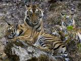 Bengal Tiger, Four One-Year-Old Tiger Cubs Together on Rocks, Madhya Pradesh, India Stampa fotografica di Elliot Neep