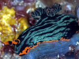 Nembrotha Kubaryana, Indonesia Photographic Print by Mark Webster