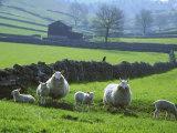 Sheep Ovis Aries Fotoprint van Mark Hamblin