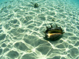 Seashell, Fiji Islands Photographic Print by Scott Winer