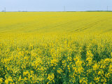 Field of Brassica Napus (Rape) Seed, Bright Yellow Flowers Photographie par Mark Bolton