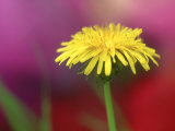 Common Dandelion, Flower, TN Photographic Print by Adam Jones