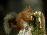 Red Squirrel, Summer Coat, Scotland Photographic Print by Mark Hamblin