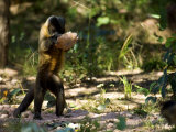 Brown Capuchin Monkey, Monkey Using Rock as a Tool to Break Brazil Nuts, Brazil Stampa fotografica di Roy Toft