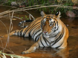 Bengal Tiger, Female Lying in Water, Madhya Pradesh, India Photographic Print by Elliot Neep