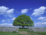 Common Oak Tree, Peak District National Park, England Photographic Print by Mark Hamblin