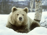 European Brown Bear, Ursus Arctos Male Sat on Snow Norway Photographic Print by Mark Hamblin