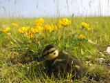 Mallard, Duckling in Wildflower Meadow, UK Fotografisk tryk af Mike Powles