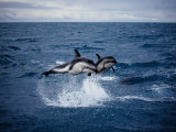 Dusky Dolphin, Leaping, New Zealand Photographic Print by Gerard Soury