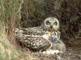 Short-Eared Owl at Nest with Chicks in Heather, UK Fotoprint van Mark Hamblin