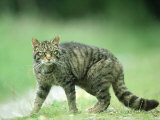 Scottish Wildcat, Felis Sylvestris, Male, June Highlands, Scotland Photographic Print by Mark Hamblin