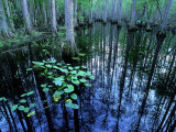 Water-Lilies in Bald Cypress Swamp, USA Photographic Print by Olaf Broders