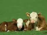 Hereford, Bos Taurus 2 Young Calves Lying in Meadow Yorkshire, UK Stampa fotografica di Mark Hamblin