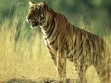 Bengal Tiger, 24 Month Male, India Fotografiskt tryck av Mike Powles
