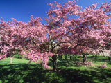 Prunus Tree, Montreal, Quebec, Canada Photographic Print by Philippe Henry