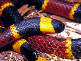 Eastern Coral Snake, Alachua Co. Photographic Print by David M. Dennis