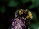 Bumble Bee on Flower, Oxfordshire, UK Photographic Print by O'toole Peter